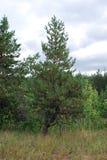 Kleine pijnboom op de rand van het bos Royalty-vrije Stock Afbeelding