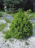 Kleine pijnboomboom in de tuin Stock Afbeeldingen