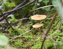 Kleine Pilze im grünen Laub Lizenzfreies Stockbild