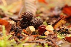 Kleine Pilze mit Kiefernkegeln Lizenzfreie Stockfotos
