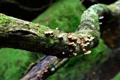 Kleine Pilze wachsen auf hölzerner Niederlassung Stockbild