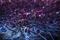 Kleine pinkfarbene Blumen, die entlang den Boden auf einem dunkelblauen Hintergrund kriechen stockfotografie