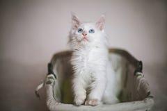 Kleine pluizige katjeszitting in mand op witte achtergrond Stock Fotografie