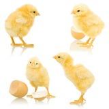 Kleine pluizige kippen Royalty-vrije Stock Fotografie