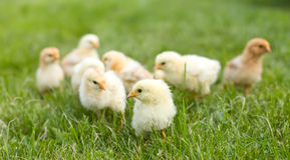 Kleine pluizige kippen in het gras stock foto's