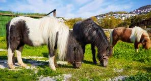 Kleine Pony Grazing lizenzfreies stockbild