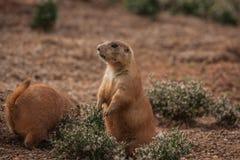 Kleine pralle Murmeltiere, die auf den Rasen gehen Lizenzfreies Stockbild