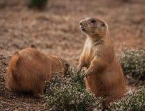 Kleine pralle Murmeltiere, die auf den Rasen gehen Stockfotos