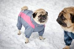 Kleine Pugs in openlucht Royalty-vrije Stock Foto