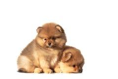 Kleine puppy op een witte achtergrond Stock Foto