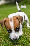 Kleine puppys lopen en spelen op de straat in het gras Stock Foto's