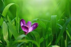 Kleine, purpere bloem Royalty-vrije Stock Afbeelding