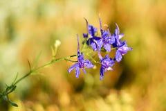 Kleine purpere bloemblaadjes van de gebiedsbloem stock afbeelding