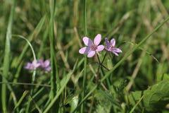 Kleine purpere bloemen Royalty-vrije Stock Foto's