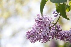 Kleine Purpere Bloemen Stock Fotografie