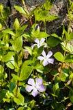 Kleine purpere bloemen stock foto's