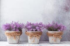 Kleine purpere bloemen in grijze ceramische potten op steen Rustieke stijl als achtergrond stock fotografie