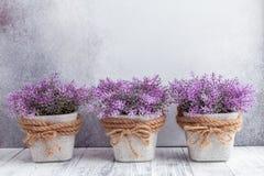 Kleine purpere bloemen in grijze ceramische potten op steen Rustieke stijl als achtergrond royalty-vrije stock foto's