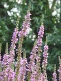 Kleine purpere bloemen van wilde installaties Stock Afbeelding