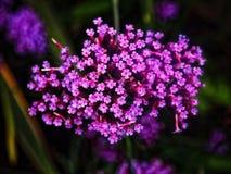 Kleine purpere en roze ijzerkruidbloemen Stock Afbeeldingen