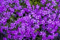Kleine purpere wildflowers royalty-vrije stock afbeeldingen