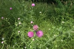 Kleine purpurartige Florets Stockbilder