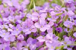 Kleine purpurrote Blume im Garten Blühende Blumen des schönen Frühlinges Stockfotografie