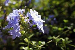 Kleine purpurrote Blumen Stockfotografie