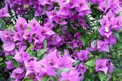 Kleine purpurrote Blumen Lizenzfreie Stockfotos