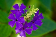 Kleine purpurrote Blumen Lizenzfreies Stockfoto