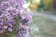 Kleine purpurrote Blumen Nahaufnahme, September lizenzfreies stockfoto