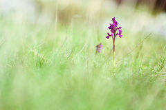 Kleine purpurrote Orchideenblume im Gras Stockbild