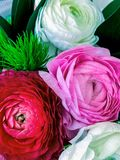 Kleine Ranunculus royalty-vrije stock foto