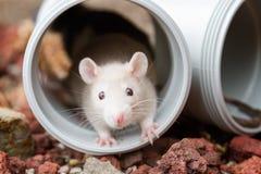 Kleine Ratte, die vom Rohr späht Stockbild