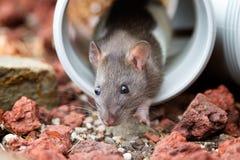 Kleine Ratte, die vom Rohr späht Lizenzfreie Stockfotografie