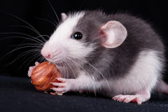 Kleine Ratte whitn Nuss Lizenzfreies Stockbild