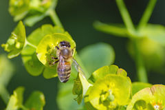 Kleine reizende Honigbiene Lizenzfreie Stockfotos
