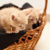 Kleine reizende Katze zwei im Weidenkorb Lizenzfreies Stockbild