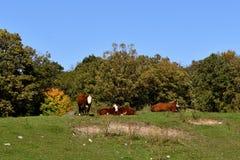 Kleine Rindfleischherde, die im Herbstsonnenschein sich entspannt lizenzfreie stockbilder