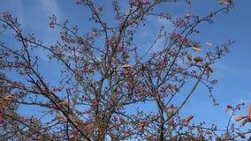 Kleine rode appelen op de takken van de de herfstboom stock video