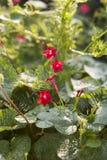 Kleine rode bloemen Royalty-vrije Stock Foto