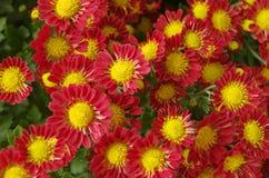 Kleine rode bloemen van chrysant stock fotografie