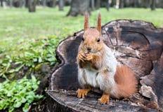 Kleine rode eekhoornzitting op stomp van boom met noot in park Stock Foto