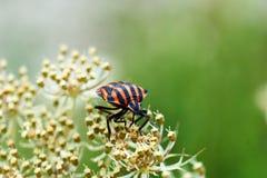Kleine Rode Insecten op gebied op een blad stock foto