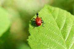 Kleine Rode Insecten op gebied op een blad stock foto's