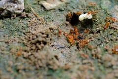 Kleine rode mier die aan grond in de tuin Thailand werken royalty-vrije stock foto's