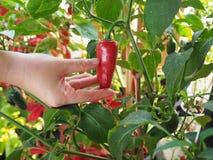 Kleine rode paprika op hand Stock Afbeeldingen