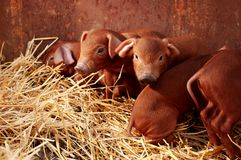 Kleine rode piggys Stock Foto's