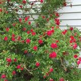 Kleine rode rozen Stock Fotografie