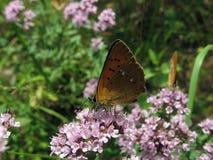 Kleine rode vlinder Stock Foto